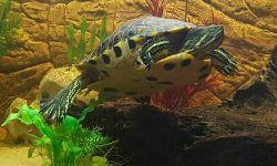 Schildkröte / Greiselbach