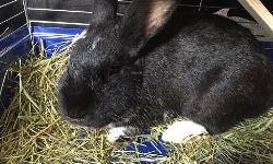 Kaninchen Hektor