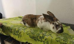 Kaninchen Humphrey