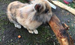 Kaninchen Jacky