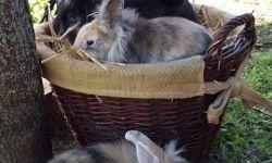Deutsche Riesen-Mix-Kaninchen