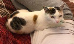 Katze Pixie, ca. 1 Jahr